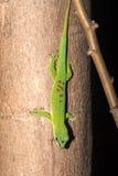 Le gecko ordinaire de jour du Madagascar, madagascariensis de Phelsuma se produit dans les maisons humaines, Madagascar photo libre de droits