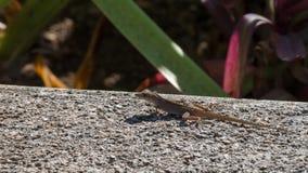 Le gecko se repose au soleil sur un mur de ciment au Mexique photographie stock libre de droits