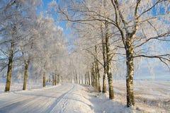 Le gel a couvert l'arbre de bouleau Image libre de droits