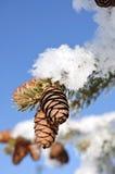 Le gel a couvert les branchements d'arbre impeccables Photos stock