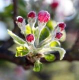 Le gel de matin sur une pomme se développe, avril 21,2017 Images stock