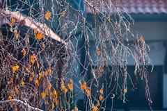 Le gel de neige a couvert la branche de bouleau de dernières feuilles jaunes Photographie stock libre de droits