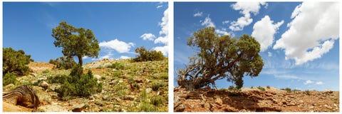 Le genévrier frottent le collage de sable de désert d'arbre Photo stock
