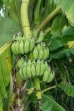 Le genre de bananier, jeune élevage de fruit de vert de fruit avec les feuilles vertes sur l'arbre, vert laisse le fond dans la p Photographie stock libre de droits