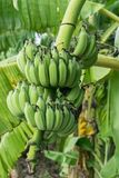 Le genre de bananier, jeune élevage de fruit de vert de fruit avec les feuilles vertes sur l'arbre, vert laisse le fond dans la p Photos stock