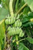 Le genre de bananier, jeune élevage de fruit de vert de fruit avec les feuilles vertes sur l'arbre, vert laisse le fond dans la p Photographie stock