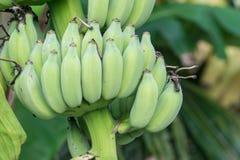 Le genre de bananier, jeune élevage de fruit de vert de fruit avec les feuilles vertes sur l'arbre, vert laisse le fond dans la p Photo libre de droits