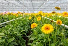 Le Gerbera fleurissant jaune plante l'élevage en serre chaude des clo Photos libres de droits