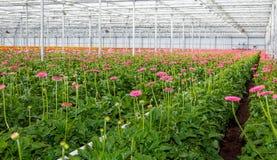 Le Gerbera fleurissant rose plante l'élevage en serre chaude néerlandaise Photographie stock