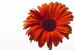 Le gerbera orange avec de l'eau se laisse tomber sur un fond blanc Images stock