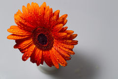 Le gerbera orange avec de l'eau se laisse tomber sur un fond blanc Photo libre de droits