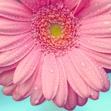 Le gerbera rose avec de l'eau se laisse tomber sur le fond de turquoise photos stock