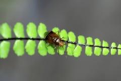 Le germanica de Mespilus a le fruit comestible vert-brun Photographie stock libre de droits