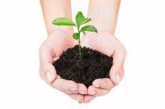 Le germe d'un arbre dans des mains femelles Photographie stock libre de droits