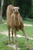 Le geste de chameau Images stock