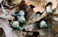 Le ghiande che sono caduto dalla regolazione della quercia sulla quercia copre di foglie fotografia stock