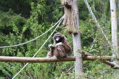 Le gibbon de Lar à mangent l'heure Images stock