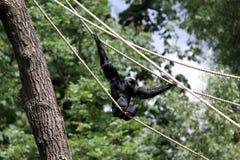 Le gibbon de lar Photo libre de droits