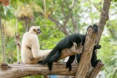 Le gibbon de lar avec une main noire Photo libre de droits