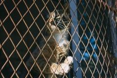 Le gingembre et le chat noir emprisonnent et sont coincés dans une fabrication de fil d'acier, c Photographie stock