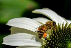 Le ginocchia dell'ape Fotografia Stock