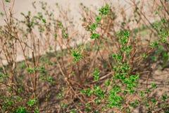 Le giovani foglie cominciano a svilupparsi fotografia stock libera da diritti