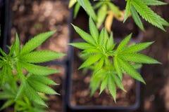 le giovani foglie della cannabis si chiudono su fotografia stock