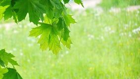 le giovani foglie di acero verdi fresche nel parco emettono luce al sole il giorno b fotografie stock libere da diritti
