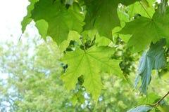 le giovani foglie di acero verdi fresche nel parco emettono luce al sole il giorno b fotografie stock