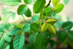 Le giovani foglie di sono aumentato Fotografia Stock
