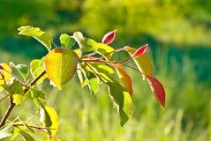 Le giovani foglie nelle gocce della mattina inumidiscono. Fotografia Stock Libera da Diritti