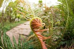 Le giovani foglie rotoleranno con la crescita degli alberi Immagine Stock