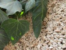 Le giovani foglie si sviluppano su un ramo fotografie stock libere da diritti