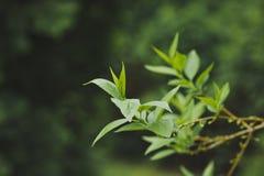 Le giovani foglie sono comparso su un ramo 1509 fotografie stock libere da diritti