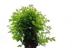 le giovani foglie verdi dell'albero incoronano su un isola bianco del fondo immagini stock libere da diritti