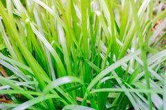 Le giovani lame di erba fresche in questo macro colpo si sbiadiscono dal gr scuro Immagini Stock Libere da Diritti