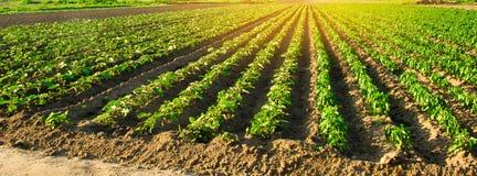 Le giovani melanzane si sviluppano nel campo file di verdure Agricoltura, coltivante farmlands Paesaggio con terreno agricolo ban fotografia stock