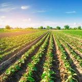 Le giovani melanzane si sviluppano nel campo file di verdure agricoltura farmlands Paesaggio con terreno agricolo fotografie stock libere da diritti
