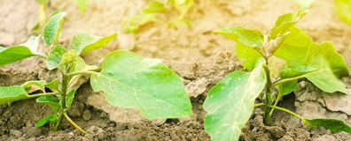 Le giovani melanzane si sviluppano nel campo file di verdure Agricoltura, verdure, prodotti agricoli organici, agroindustria fotografie stock