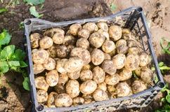 Le giovani patate gialle fresche in una scatola sul primo piano del campo, l'agricoltura, coltivando, lavoro stagionale, verdure, Immagini Stock Libere da Diritti