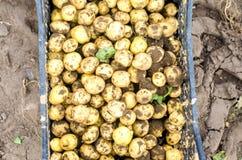 Le giovani patate gialle fresche in una scatola sul primo piano del campo, l'agricoltura, coltivando, lavoro stagionale, verdure, Fotografia Stock