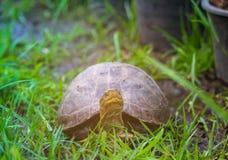Le giovani tartarughe stanno camminando sull'erba fotografia stock