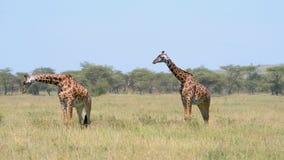 Le giraffe africane selvagge stanno sulla pianura del pascolo in savana su fondo dell'acacia stock footage