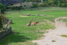 Le giraffe hanno un resto nell'erba verde Fotografia Stock Libera da Diritti