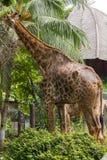 Le giraffe nello zoo mangiano le foglie fotografia stock libera da diritti