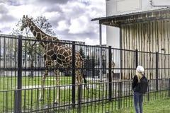 Le giraffe vivono nella loro uccelliera in uno zoo all'aperto immagini stock
