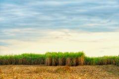 Le gisement de canne à sucre et sèchent la paille de pile photographie stock libre de droits
