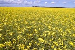 Le gisement de fleur jaune photographie stock