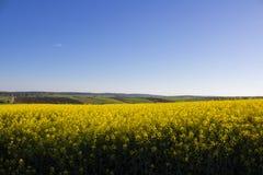 Le gisement de graine de colza, les champs du viol jaune pour le combustible organique se développe dans le domaine photographie stock libre de droits