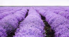 Le gisement de lavande, lavande parfumée violette de floraison fleurit le ciel d'insunset, récolte Images stock